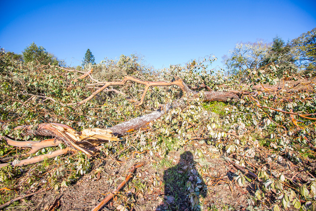 Description of . Madrone and other trees down. Photo by Steve Eberhard.