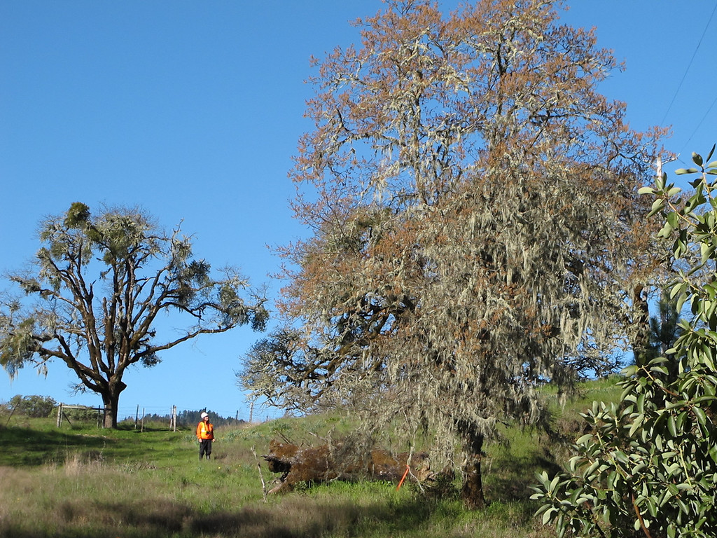 Description of . One of the 12 CalTrans biologists noticed monitoring trees and brush for bird and other wildlife activity.