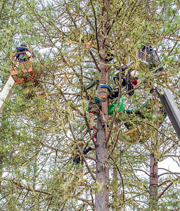 Katz is suspended by his climbing harness in the tree above Weilbach as the two men are confined to the one tree by the CHP officers as they continue to close in on the two. Photo by Steve Eberhard