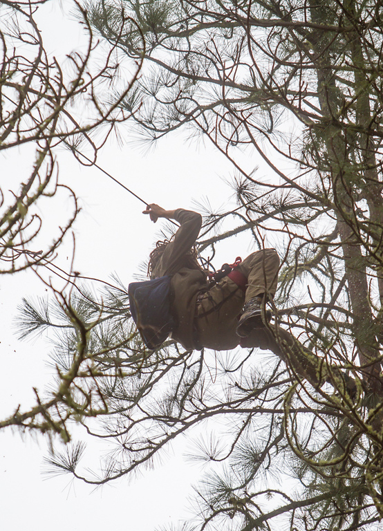 . Martin Katz moving through the stand of pine trees using a rope and pulley system strung between the trees. He used this network to extend the time it took to capture him. The SWAT officers eventually cut this network and confined him to one tree. Photo by Steve Eberhard