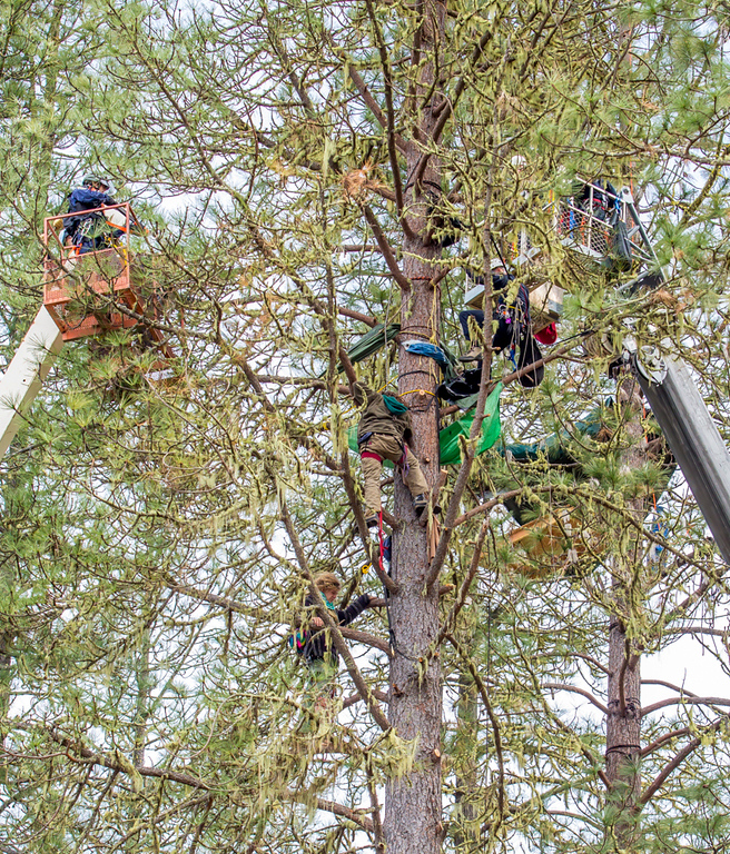 . Katz is suspended by his climbing harness in the tree above Weilbach as the two men are confined to the one tree by the CHP officers as they continue to close in on the two. Photo by Steve Eberhard