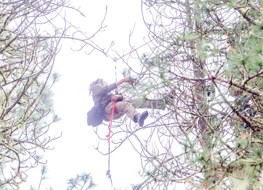 . Katz continues moving through the trees until the CHP traps the two tree sitters in one tree. Photo by Steve Eberhard